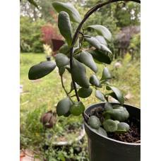 Hoya Heuschkeliana (yellow)
