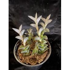 Tradescantia Navicularis