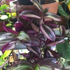 Tradescantia Zebrina Pendula discolor multicolor