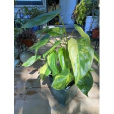 Philodendron Burle Marx Varigated