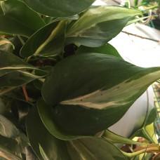 Philodendron Rio